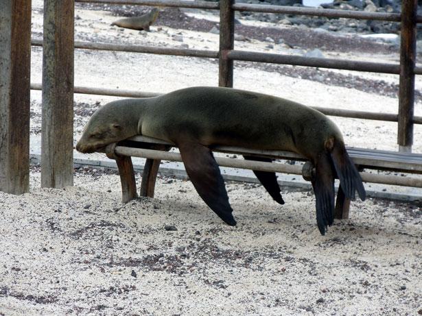 sealion-sleeping-on-bench