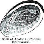 abalone2